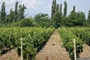 Verë me pak bereqet për vreshtarët