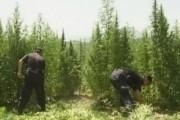 Krujë, asgjesohen 350 rrënjë kanabis sativa