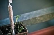 """Në Suharekë, arrestohet """"kopshtari"""" që mbillte kanabis në vazo lulesh"""