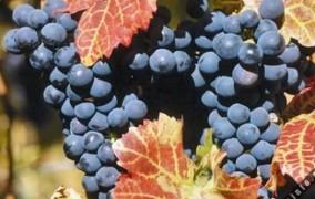 Verë, rrushë e muzikë nesër në Rahovec