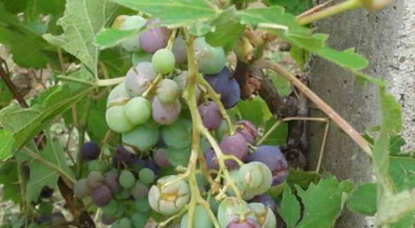 Rahovec :Reshjet e shiut kanë rrezikuar sivjet cilësinë e rrushit, por vera e bardhë pritet të jetë e mirë