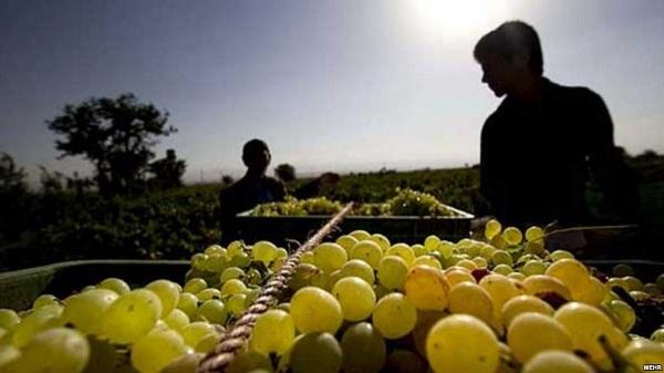 Ulet çmimi i rrushit, vreshtarët e Rahovecit thonë se me këtë problem ballafaqohen çdo vit