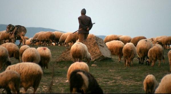 Qenët e bariut mbysin ujkun në Dragash