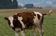 Malishevë: Padi për lopën