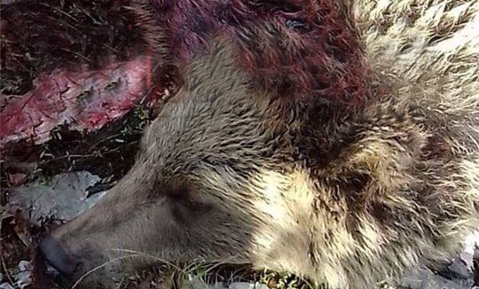 E tmerrshme: Vriten dy këlyshë të arushës në Bukosh të Suharekës (Foto+18)