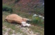 Teli i rrymës e mbyti një lopë në Suharekë (Video)