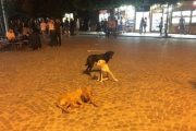 """Prizren, qentë endacakë """"pushtojnë"""" Shatërvanin (Foto)"""