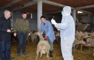 Në Malishevë ka filluar vaksinimi i kafshëve të imëta