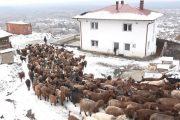 Rrëfimi i fermerit të dhive nga Korisha e Prizrenit që është në hall me grantet e Qeverisë së Kosovës