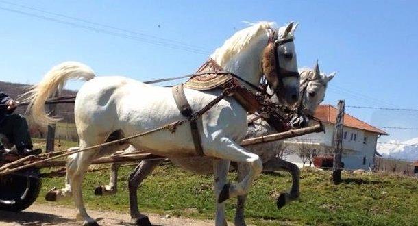 Rahovec: Pezullohet procedura penale për rrezikim të trafikut me kuaj, i akuzuari gjendet në Itali