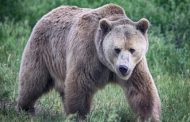 Sllovenia lejon vrasjen e 200 arinjve, përbëjnë rrezik