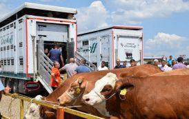 Mytaher Haskuka subvencionon blegtorët, lopët sillen me kamionë të Serbisë
