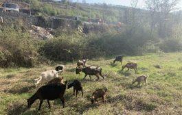 Blegtori nga Malisheva që e filloi punën me një dhi – sot biznesi i tij vlen 100 mijë euro